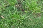 Weed Grasses - Tall Fescue